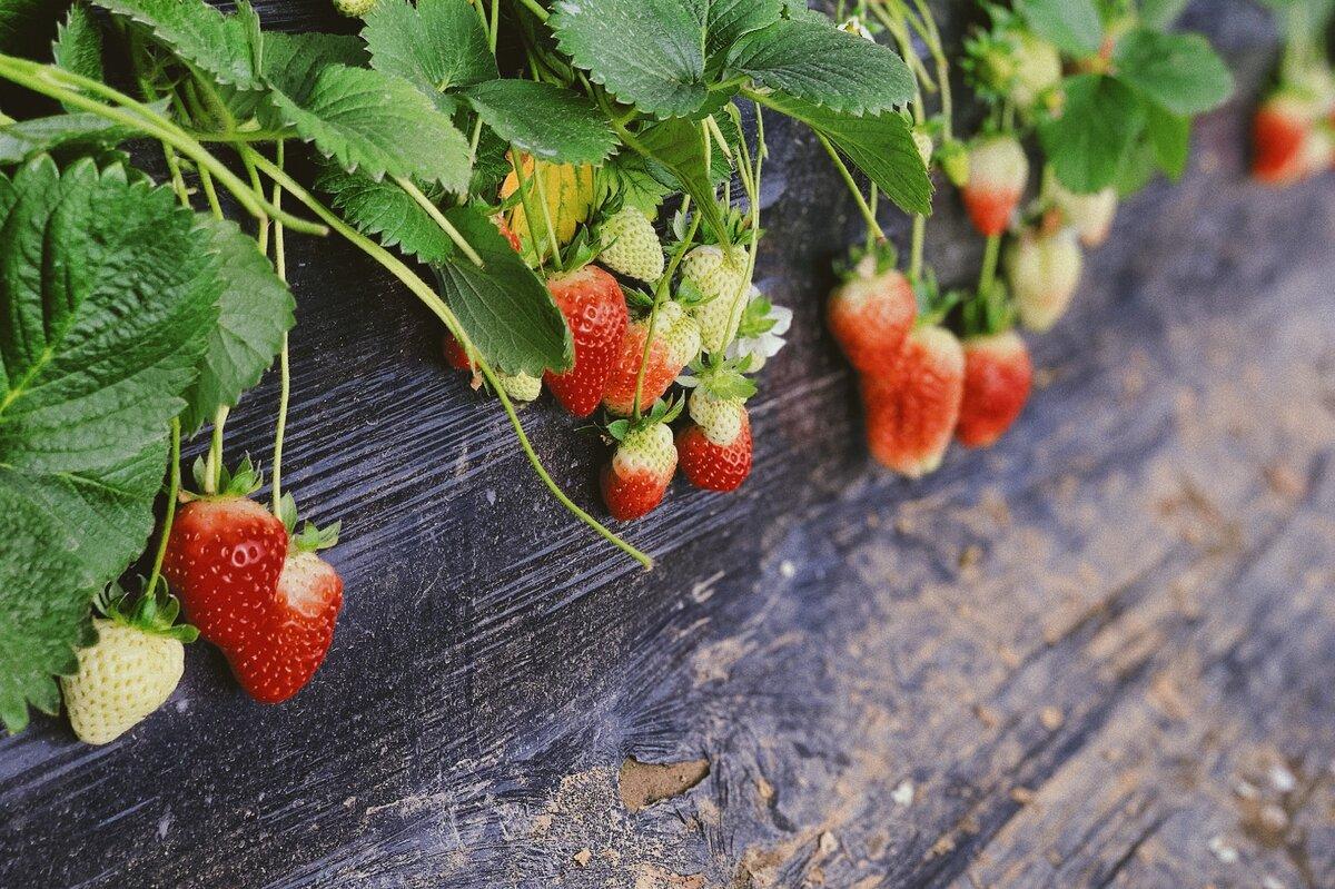 Агротехника выращивания клубники в открытом грунте и теплице