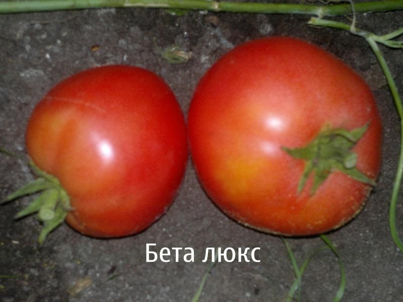 Томат беталюкс: характеристика и описание сорта, урожайность фото