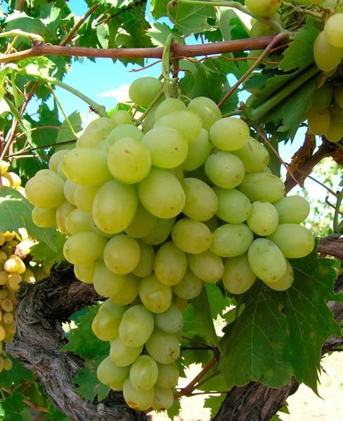 ᐉ столовые сорта винограда для 21-го столетия - виноград - roza-zanoza.ru