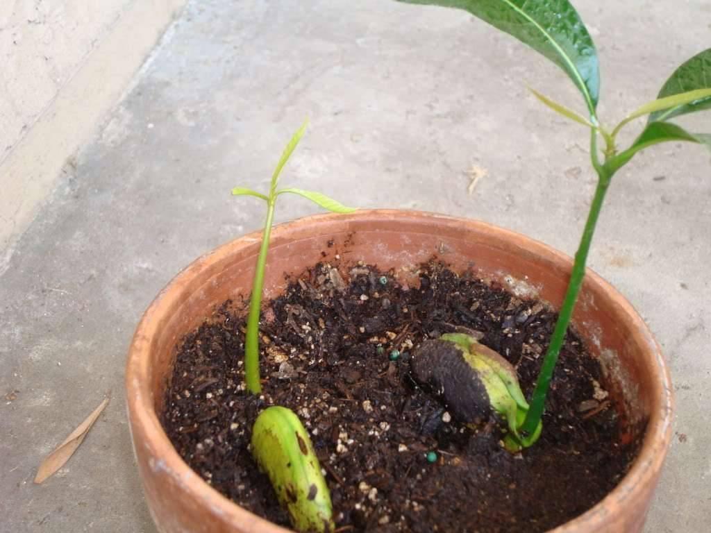 Дерево манго – особенности полива, обрезки и подкормки, как правильно пересадить и размножить растение?