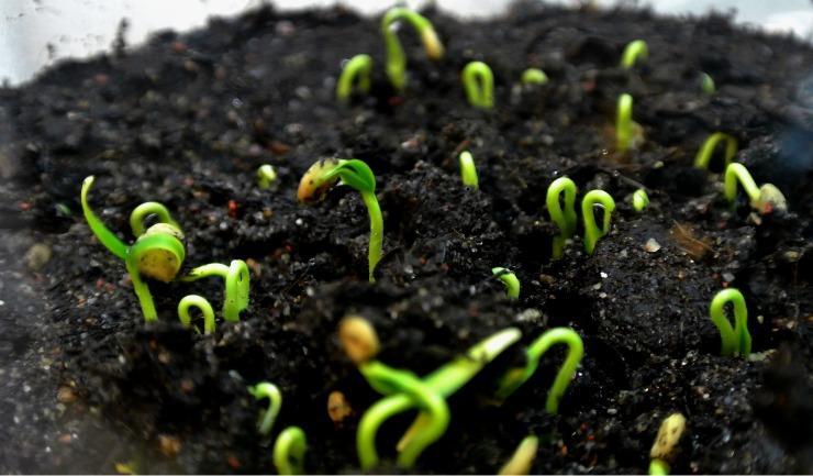 почему плохо всходят семена бархатцев на рассаду