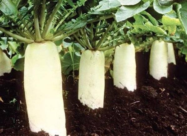 Дайкон дубинушка: описание и характеристика сорта, посадка, выращивание и уход
