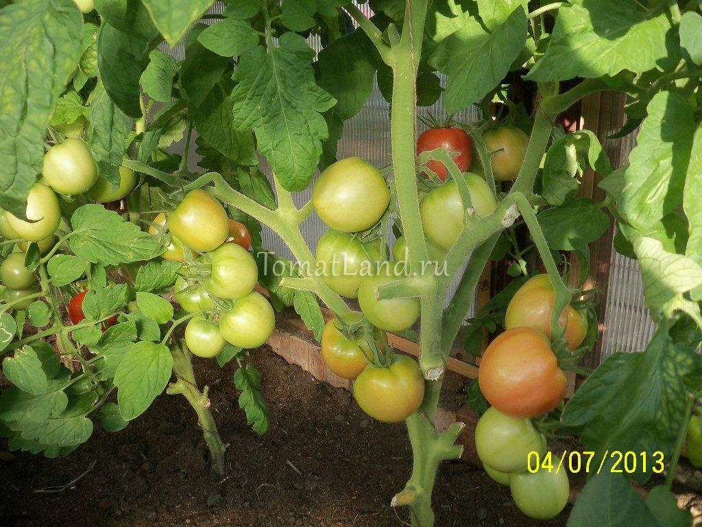 Томат розовая ляна: характеристика и описание сорта с фото, отзывы о семенах и урожае
