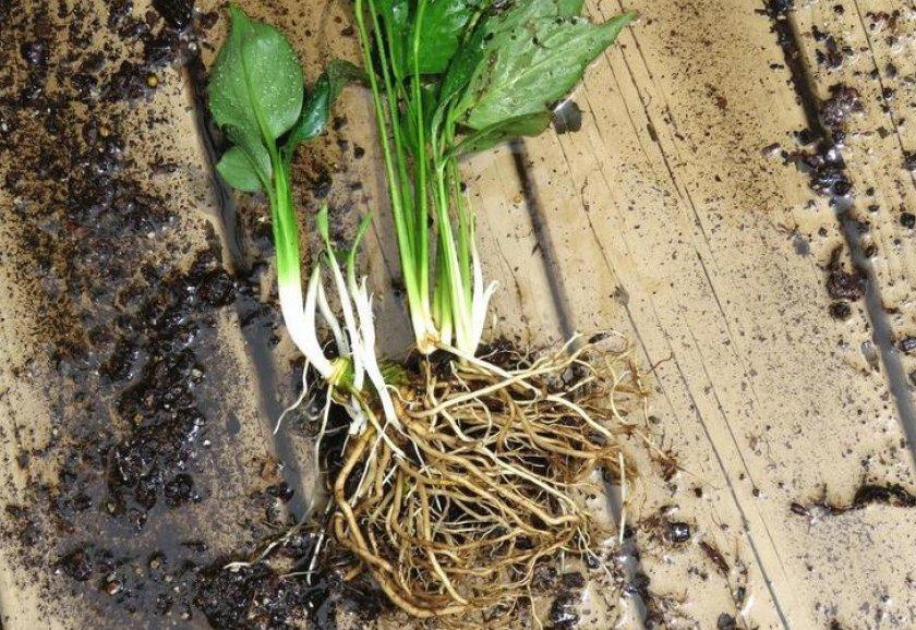 Сорта бокарнеи с фото и названием, особенности ухода и выращивание из семян в домашних условиях, пересадка и размножение