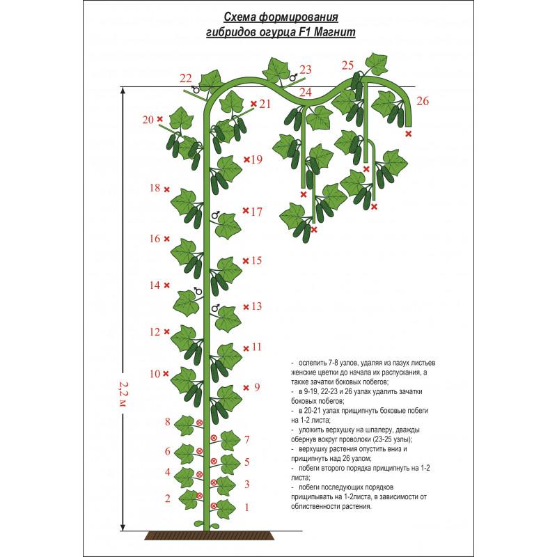 Формирование огурцов – как правильно формировать огурцы в теплице