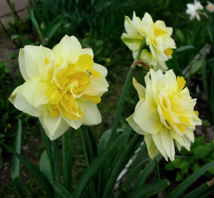 Нарцисс уайт лион: описание и характеристики сорта, посадка и уход, отзывы с фото