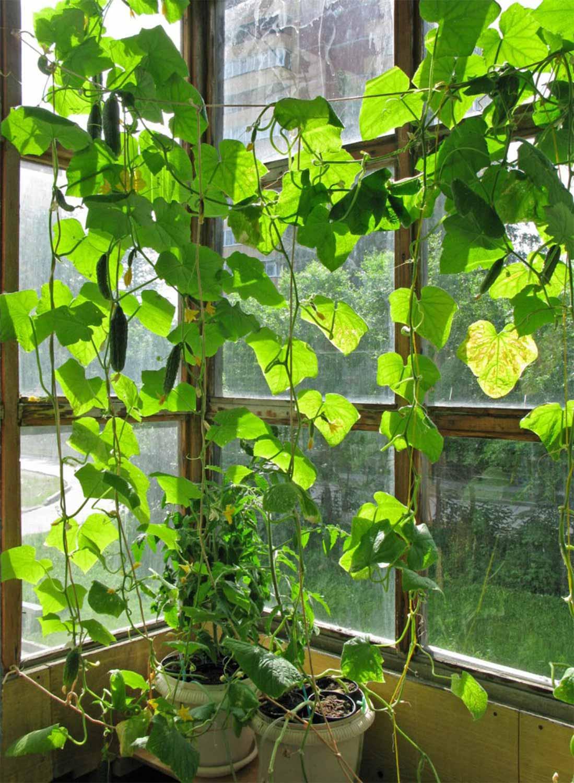 Выращивание укропа на балконе: пошаговая инструкция + советы
