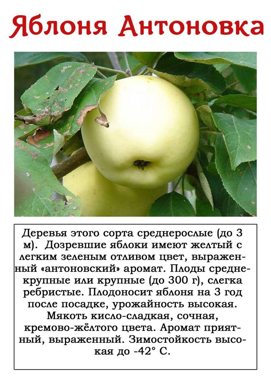 Яблоня толунай: особенности сорта и ухода