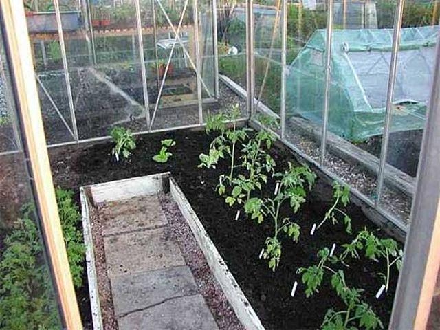Выращивание томатов в теплице из поликарбоната от а до я: посадка и уход
