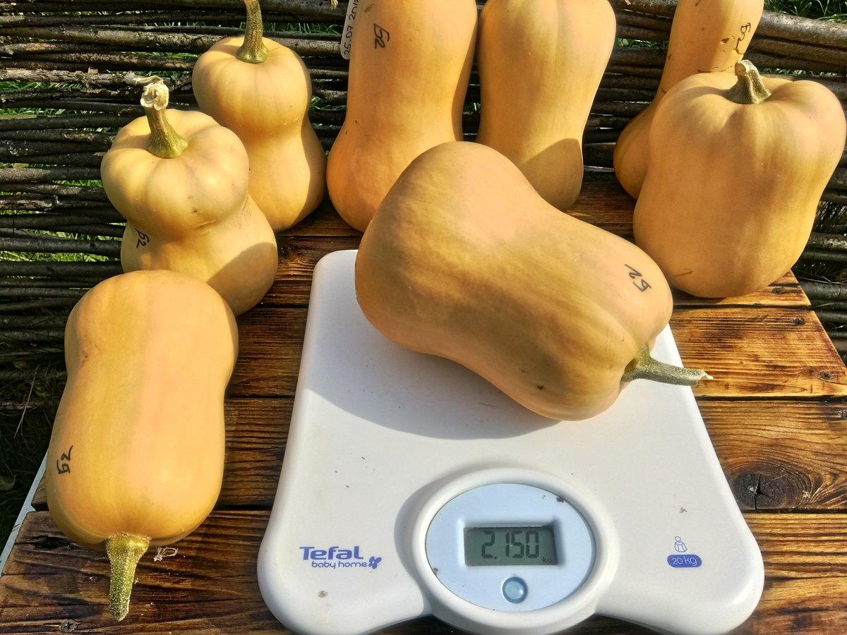 Тыква баттернат: урожайность, полезные свойства и потребительские качества плодов + особенности посадки и выращивания