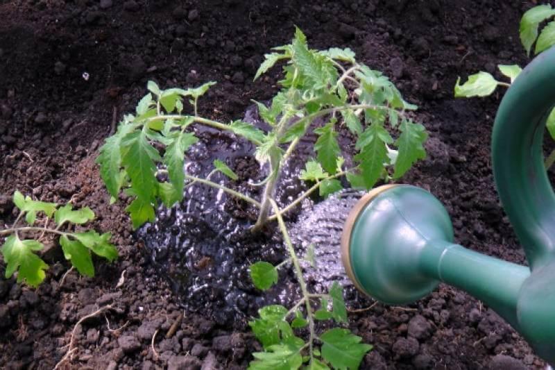 Как поливать арбузы и дыни? особенности и правила полива