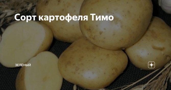 ✅ тимо: описание семенного сорта картофеля, характеристики, агротехника - tehnomir32.ru
