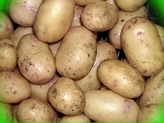Картофель лорх: фото, описание сорта, характеристики, особенности выращивания