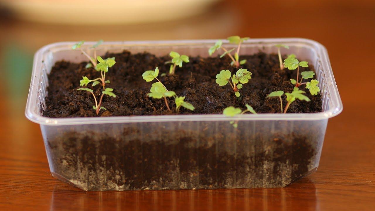 Выращиваем клубнику из семян в домашних условиях (+хитрости)