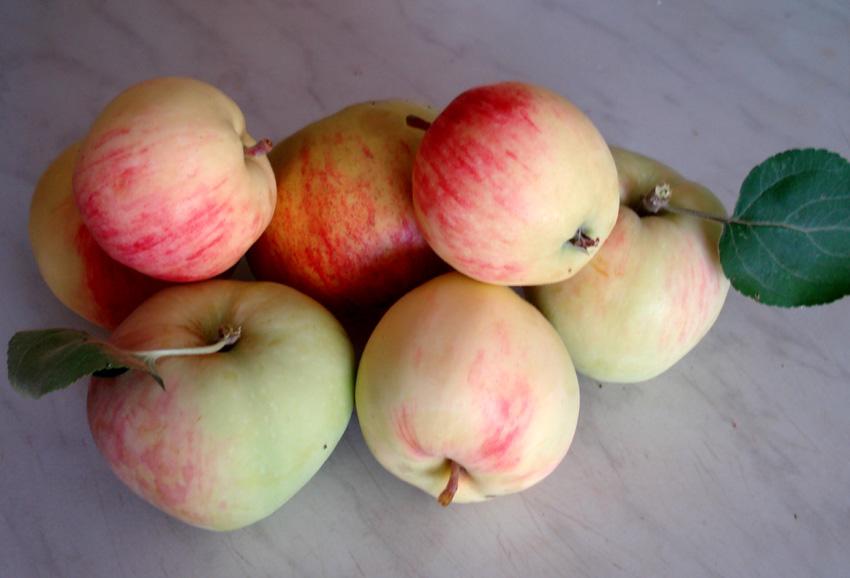 Яблоня яблочный спас: описание сорта, фото, отзывы