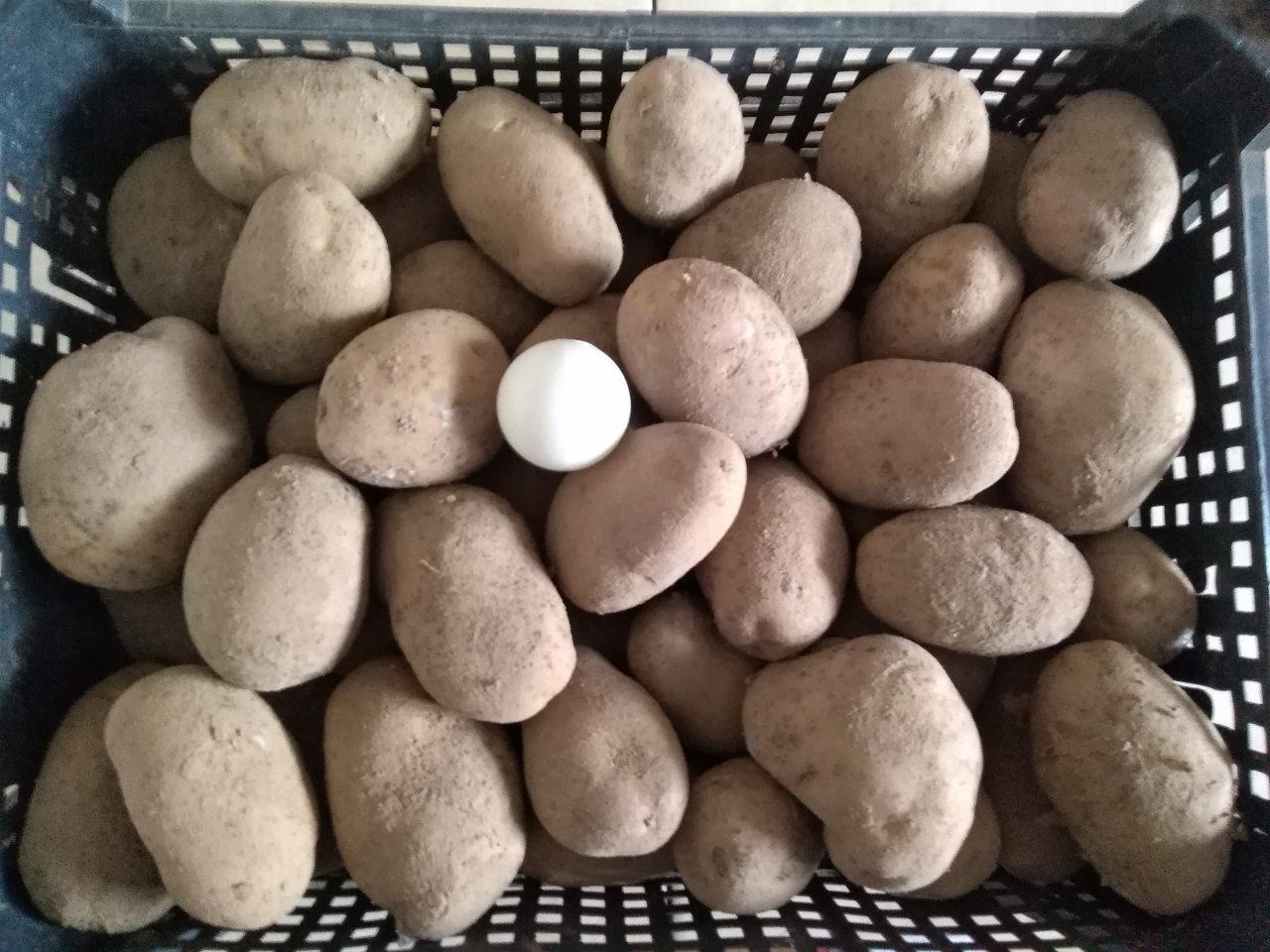 Сорт картофеля лорх: описание с фото и характеристиками внешнего вида, а также инструкция по выращиванию