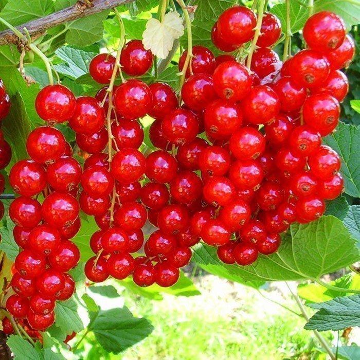 Посадка красной смородины, уход за ней: в открытом грунте, как сажать