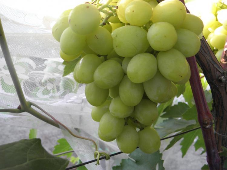 Виноград сорта кеша — описание, особенности ухода