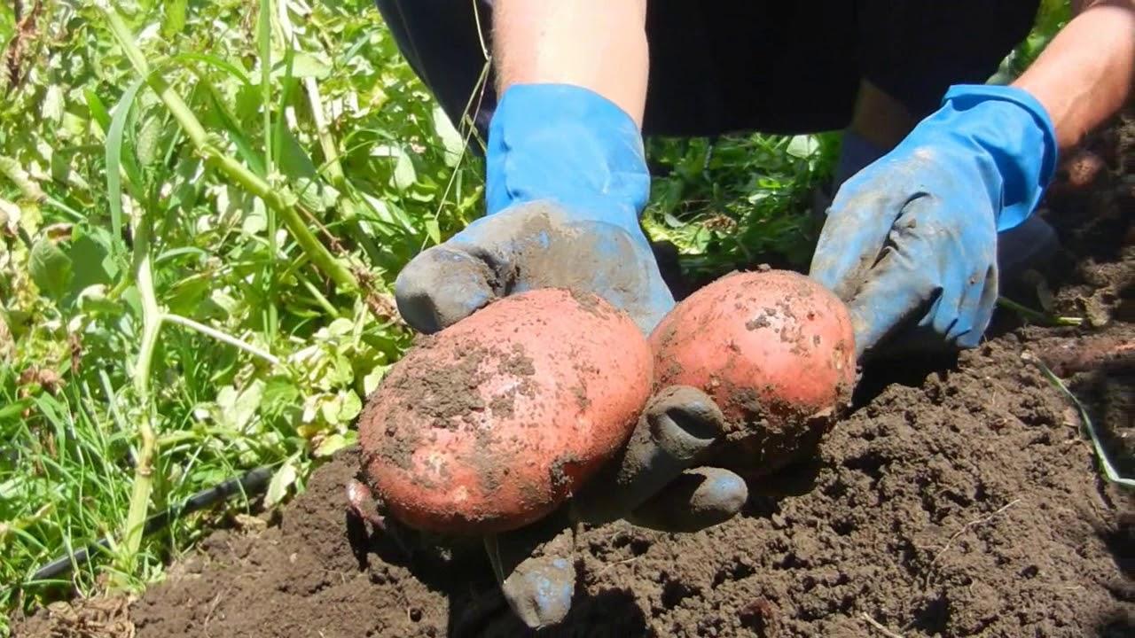 Как вырастить картошку в дождливое лето
