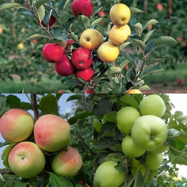 Яблоня уралец: описание и характеристика сорта, чем полезны, посадка и уход