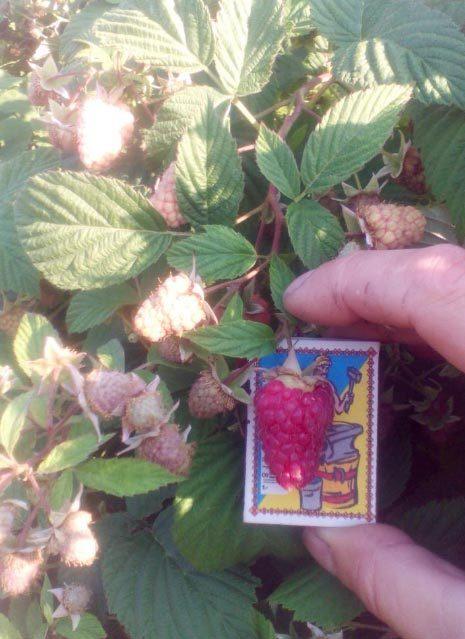 Малина сорт таруса: описание, фото, отзывы, секреты посадки и ухода
