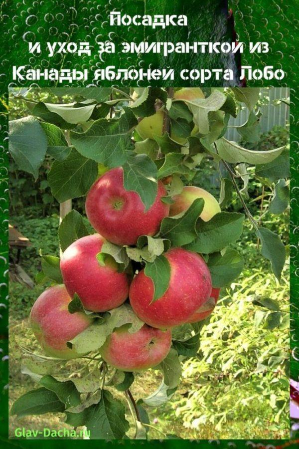 Описание и характеристики яблонь сорта лобо, разновидности, посадка и уход - всё про сады