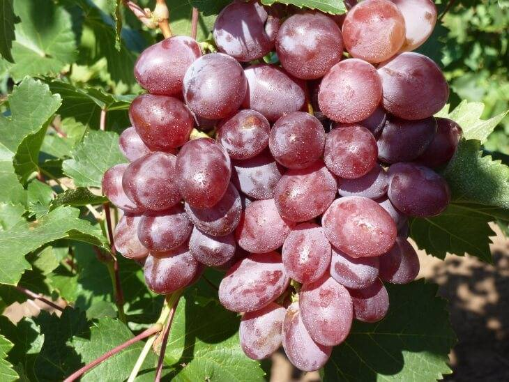 Девичий виноград: сорта и фото, размножение черенками и отводками, посадка и уход
