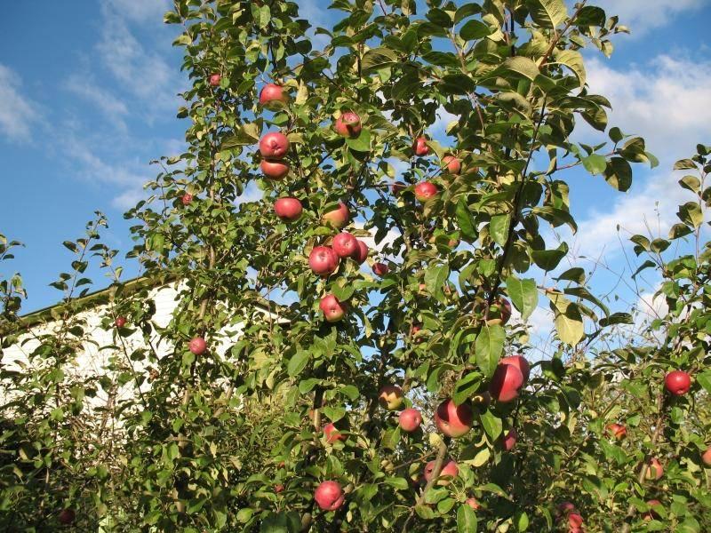 Яблоня лобо: описание сорта и правила выращивания, видео и фото