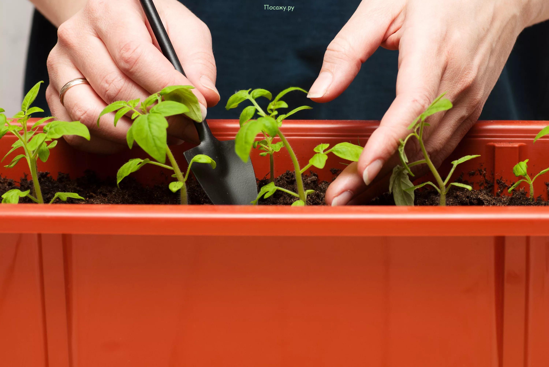 Как правильно пикировать помидоры - сроки и правила, уход за рассадой после пикировки