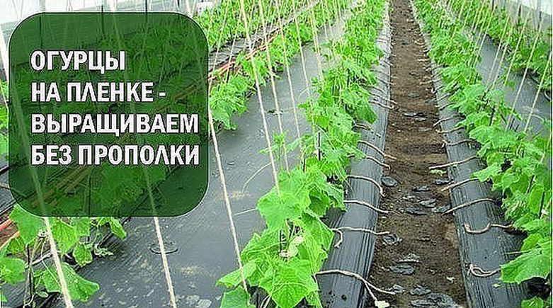 Огурцы под пленкой без полива и прополки: выращивание под укрывным материалом