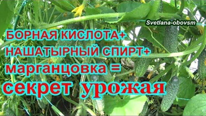 Как подкармливать болгарский перец нашатырным спиртом: правила и сроки внесения