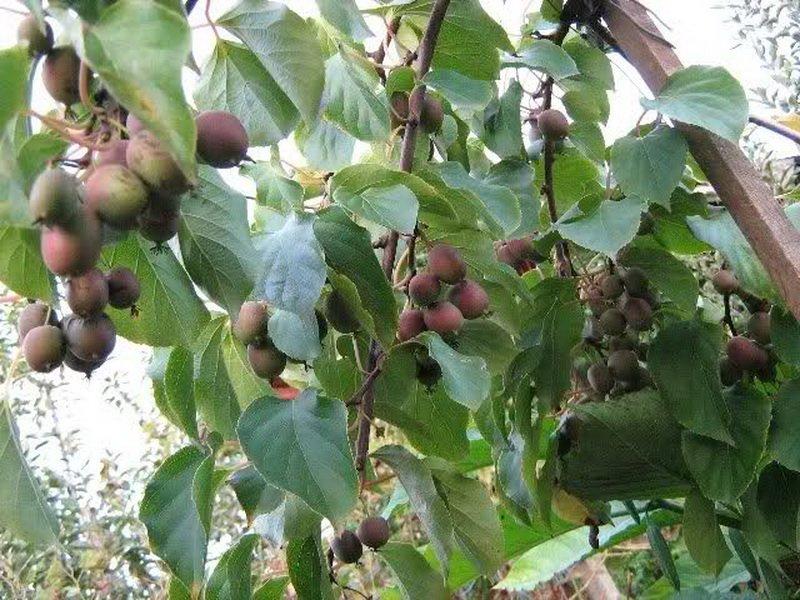Посадка актинидии весной и осенью: пошаговая инструкция по высадке саженца в открытый грунт