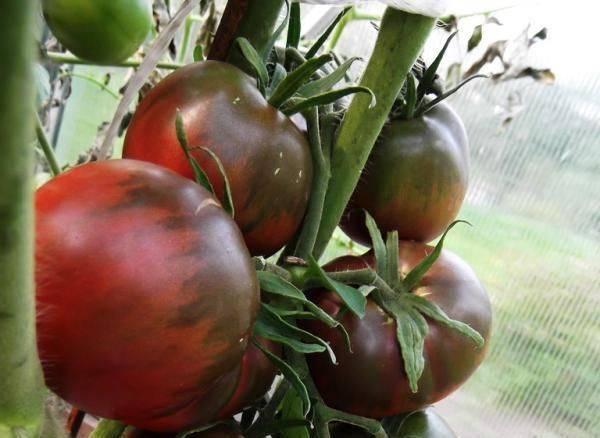 """Томат """"черная груша"""": описание сорта, рекомендации по уходу и выращиванию русский фермер"""