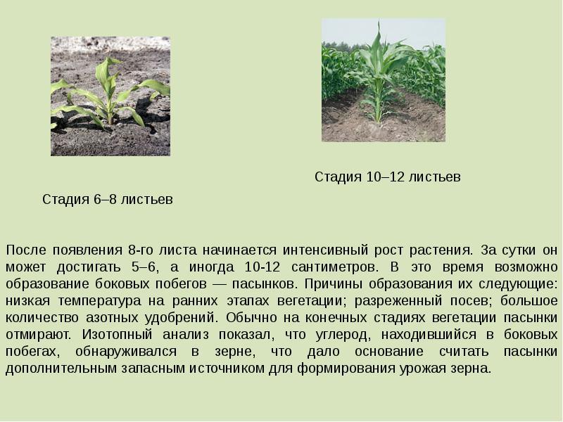 Технология возделывания кукурузы на зерно