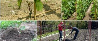 Виноград рошфор: описание сорта, полная инструкция по выращиванию