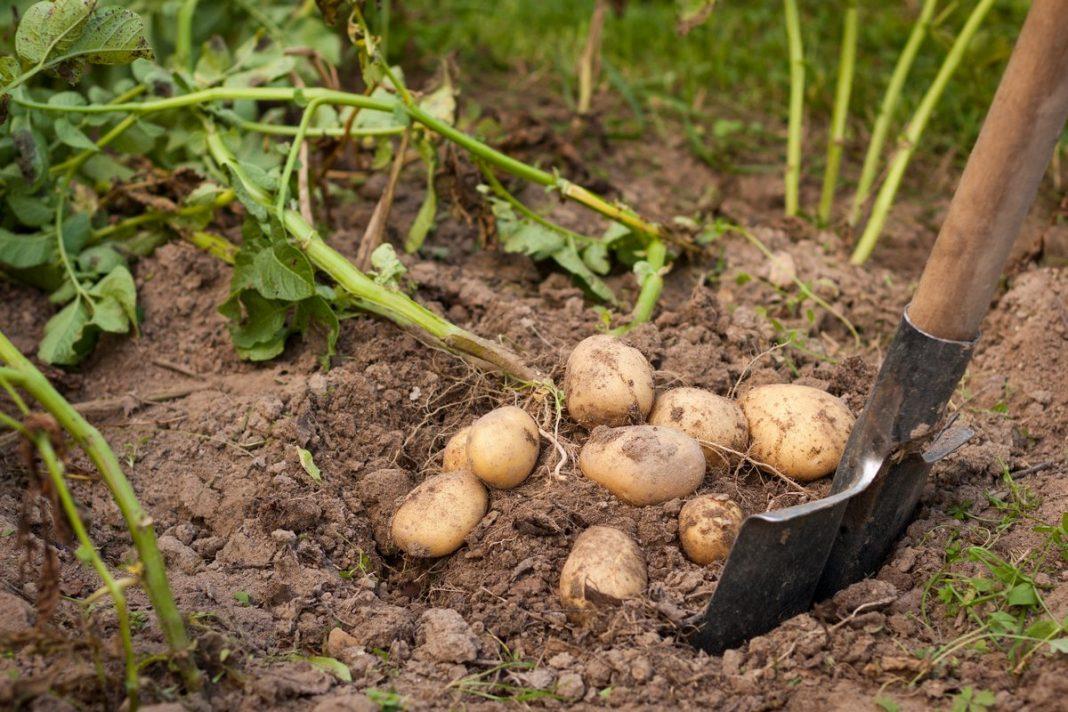 Как поливать картошку чтобы был хороший урожай: цветение и полив