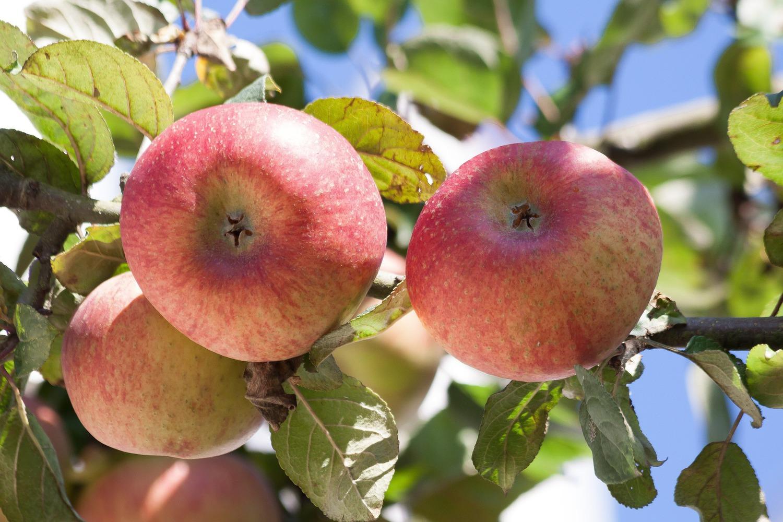 Описание сорта яблони соковое: фото яблок, важные характеристики, урожайность с дерева