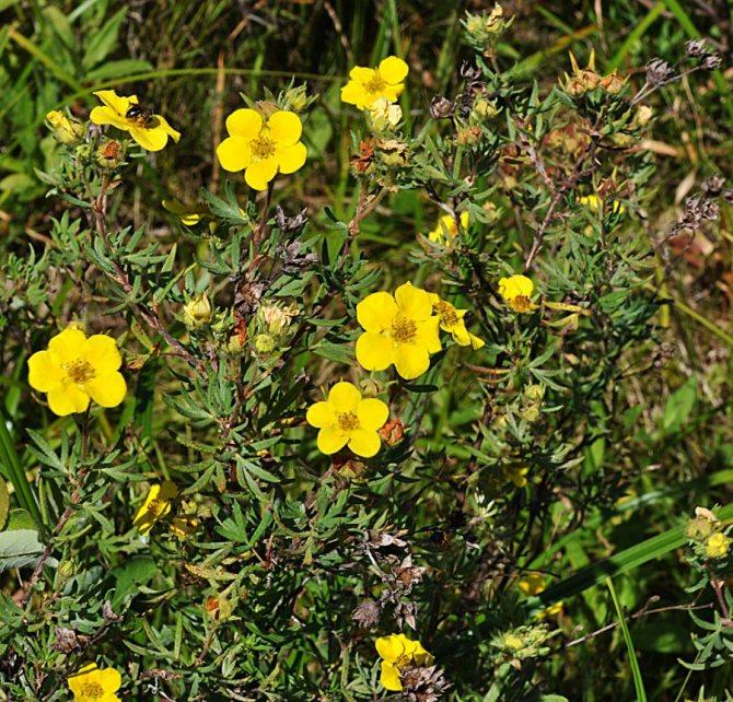 Лапчатка кустарниковая: выращивание и уход