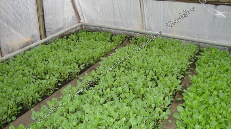 Как вырастить цветную капусту в открытом грунте и теплице: особенности посадки и ухода, фото