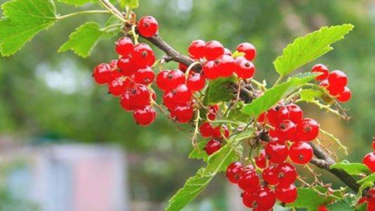 Сорт красной смородины мармеладница: описание и отзывы садоводов