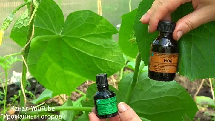 Обработка огурцов зеленкой и йодом - лучшая защита или вред для овощей?