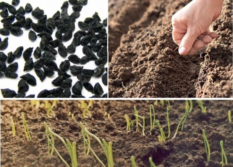 Саженцы и семена под зиму, когда сеять, как сажать, сроки