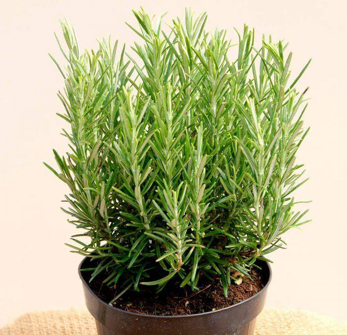 Розмарин: выращивание в квартире или доме в горшке из семян, посадка и уход в домашних условиях на подоконнике, размножение черенками, сорта, ошибки