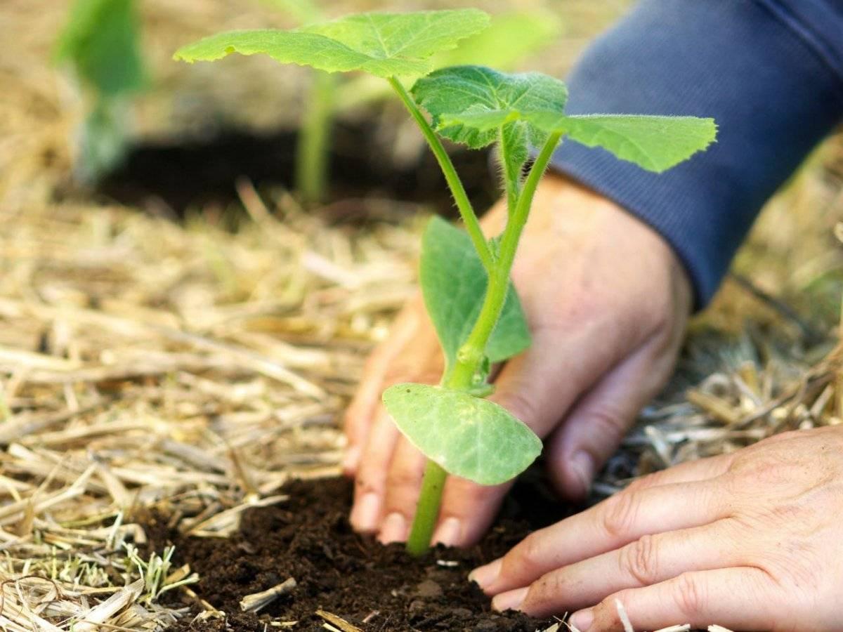 Выращивание шпината в открытом грунте: особенности в выращивании разных сортов, правила ухода, полезные советы