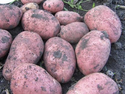 Картофель манифест: описание сорта, фото, отзывы, урожайность, выращивание