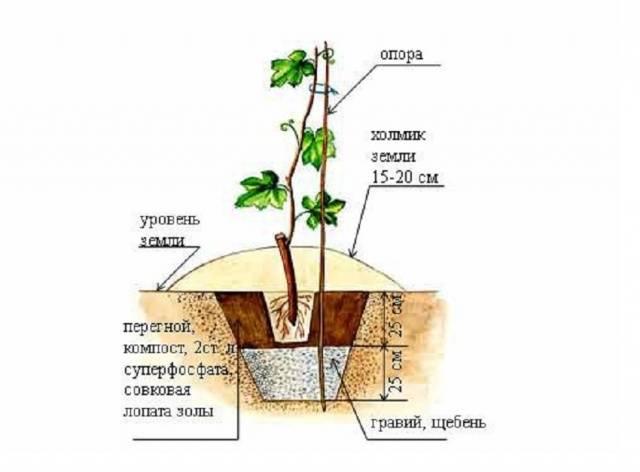 Виноград атос - описание сорта, фото, отзывы