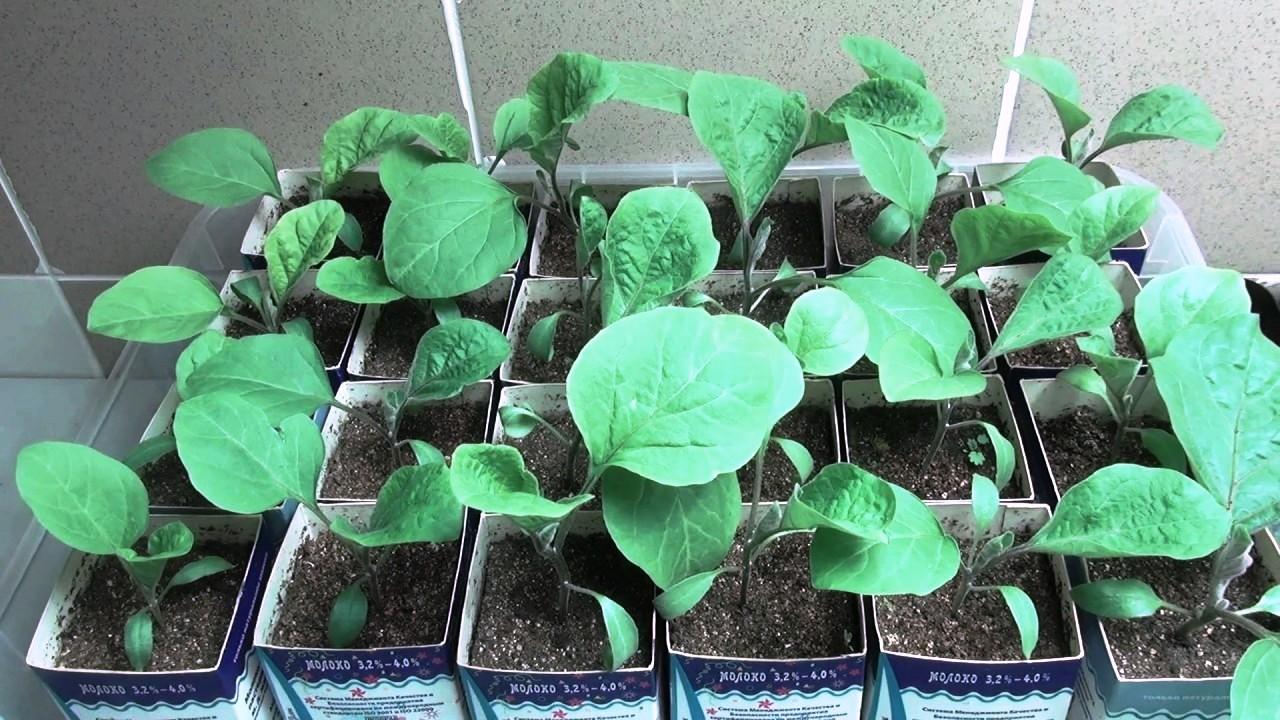 Баклажаны выращивание и уход в открытом грунте рассадой