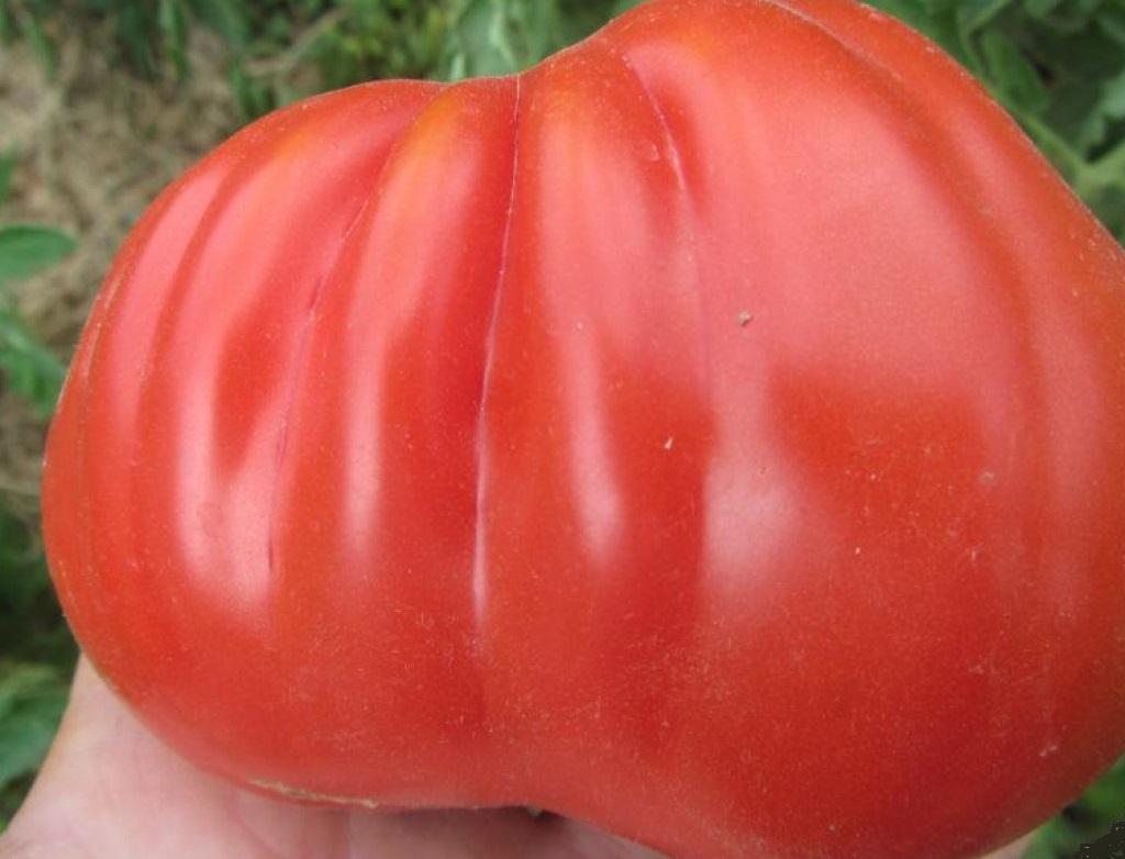 Описание сорта томата Стопудовый и особенности посадки растения