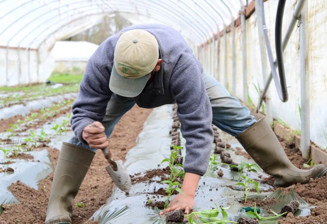 Как подготовить почву в теплице под помидоры весной