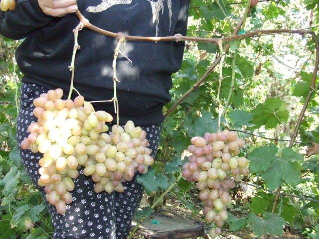 виноград сенсация: описание, характеристика
